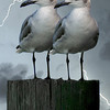 Double Trouble - three photos (bird one, bird two and lightning), layered with PhotoShop CS5.