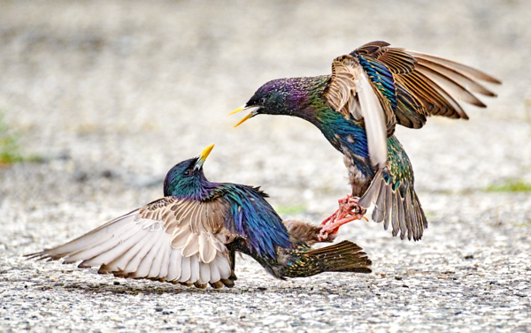European Starlings I
