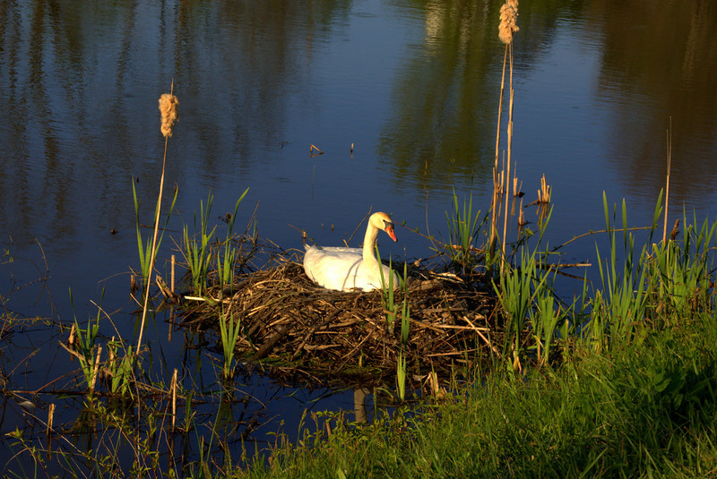 Photo By Bob Bodnar.............Mother Swan on Lake Logan, Keeping the eggs warm