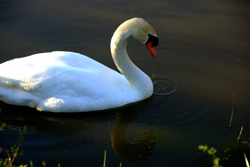 Photo By Bob Bodnar.......................Swan on Lake Logan,  With water Droplets