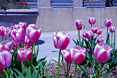 Tulips at Hofstra University