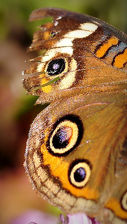 The Common Buckeye Butterfly - Indiana