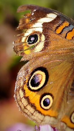 The Common Buckeye Butterfly - Indiana