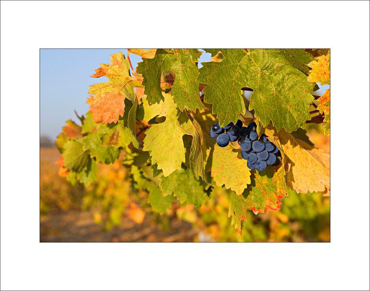 Dry Land Grape
