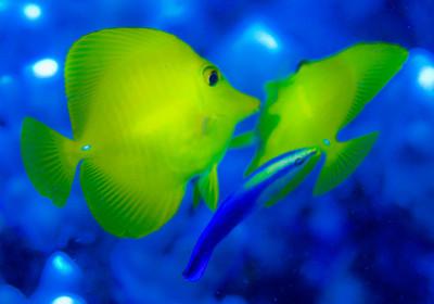 Yellow Tang, Hawaii