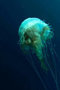 Jellyfish off Morehead City, NC