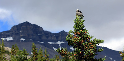 Grey Jay, Jasper National Park
