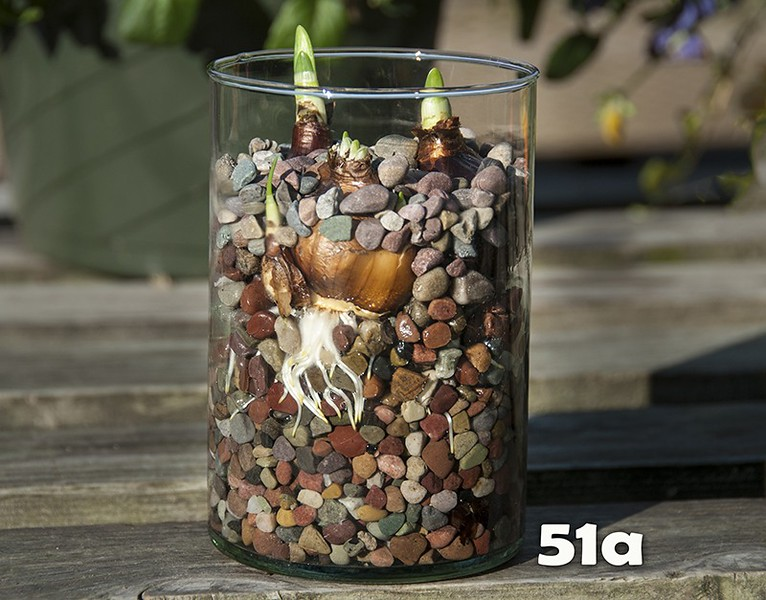 """#51a - NEW! 6"""" Recycled glass cylinder with 3 large paperwhite bulbs in colorful stone."""