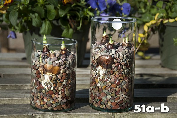 """#51a-b - NEW! 6"""" & 8"""" Recycled glass cylinder with 3 large paperwhite bulbs in colorful stone."""