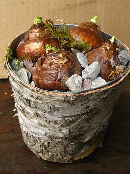 Paperwhites in Birch Pot