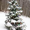 Christmas Spruce