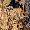 GHO owlet