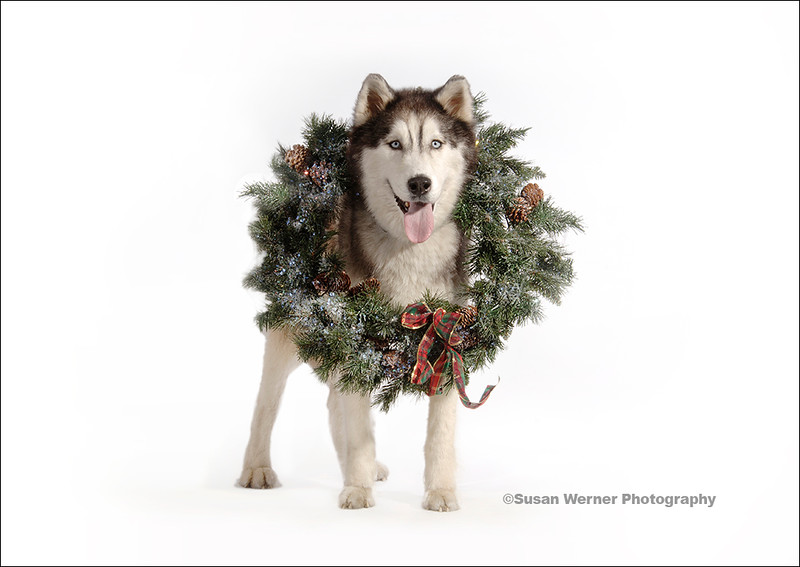 Husky wearing Christmas Wreath