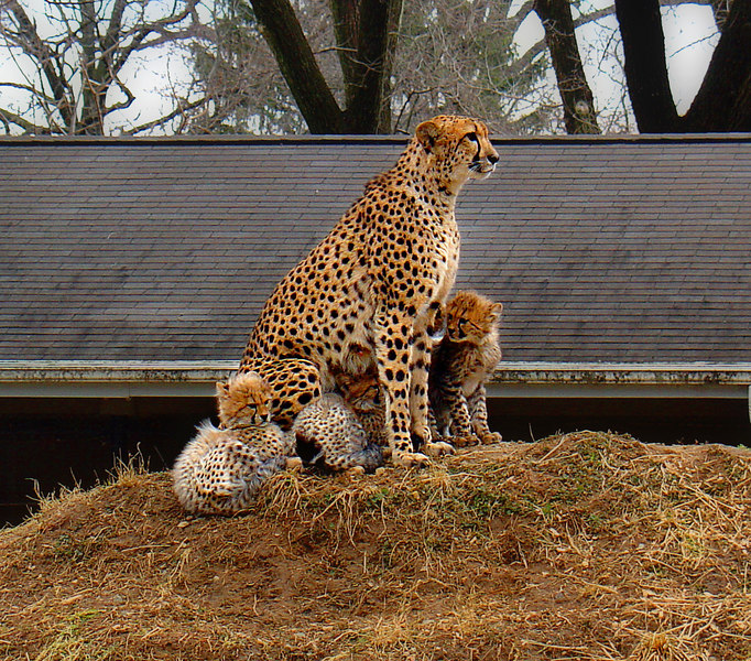 Cheetah and her cubs, at the National Zoo.