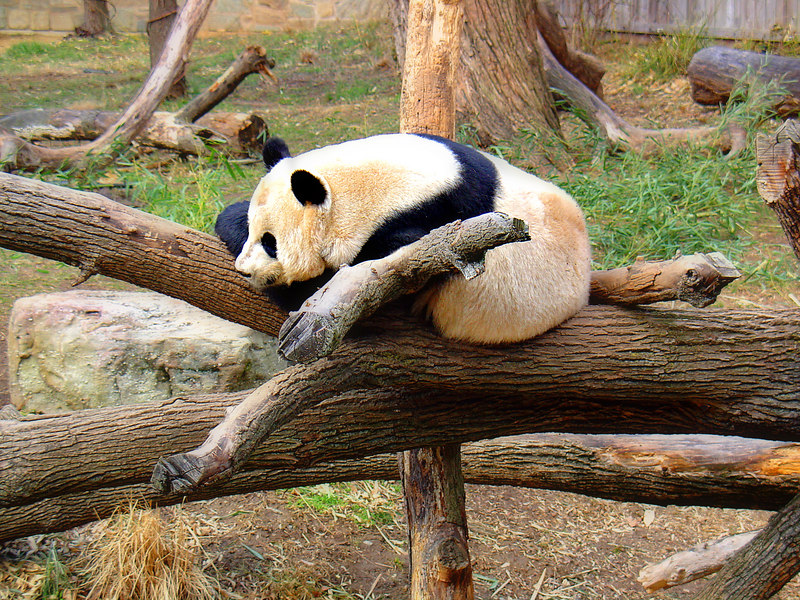 One of the pandas at the National Zoo.