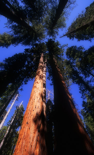 Looking up at the Sequoia