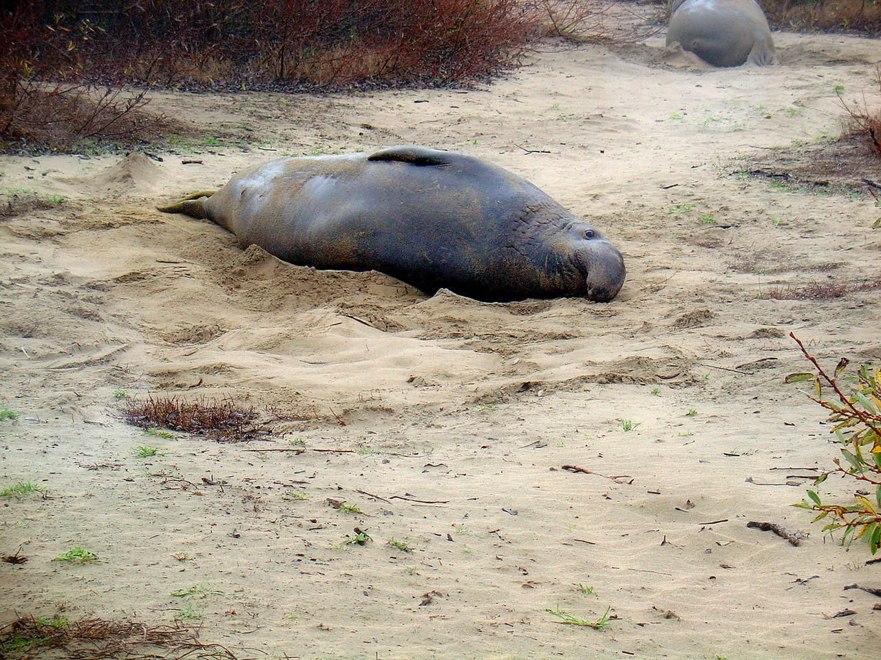 This would be an elephant seal, at Ano Nuevo beach