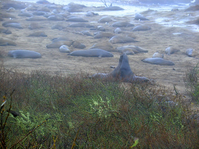 A whole mess of elephant seals, Ano Nuevo Beach