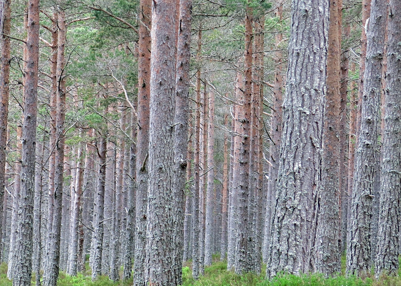 Silvery lichen covered Scots Pines