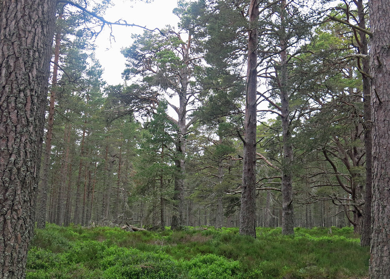 Our first walk in real Caledonian forest. This is Capercaille country. Word origin of 'capercaillie' C16: from Scottish Gaelic capull coille horse of the woods. It's a very large grouse-like bird. Unfortunately too late in the year for us to see them.