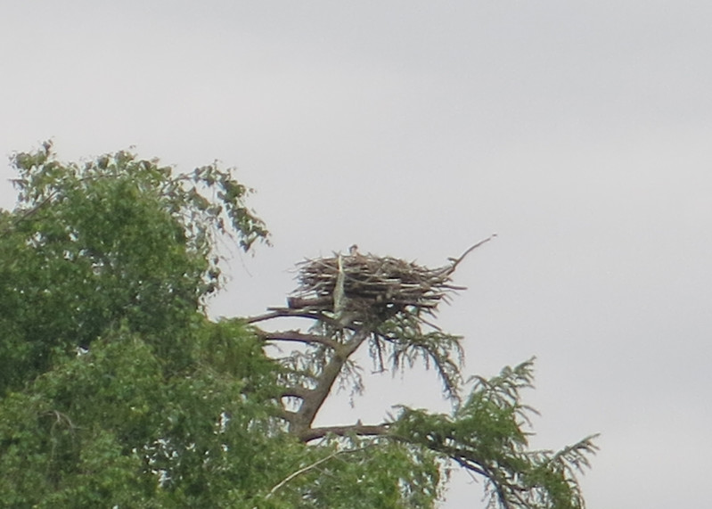 Next stop was another secret location to see a wild Osprey nest. This one had been destroyed by a bad winter storm but was rebuilt by wildlife wardens. They were so pleased that the pair came back to the site. Again at the limit of my camera lens.