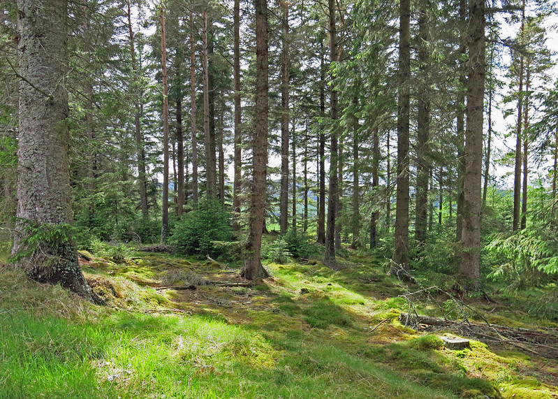 Typical of the Scots Pines with the dense understory though  this is not old Caledonian Forest