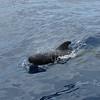 Pilot Whale off Los Gigantes