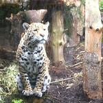 Jaguar at Edinburgh Zoo