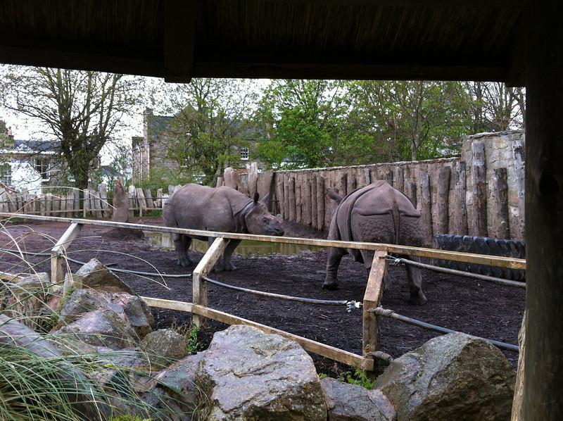 Rhinos at Edinburgh Zoo