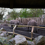 Rhinos at Edinburgh Zoo