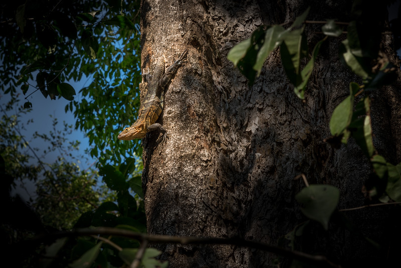 Lizard upside down in a tree.