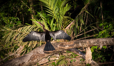 Bird sitting on a tree . Feathers drying in the sun. Wings spread wide open - Costa Rica - Tortuguero