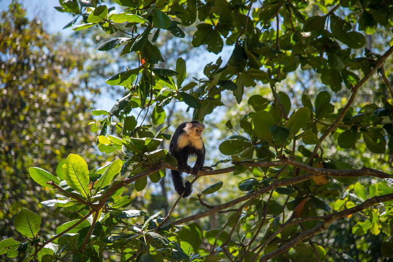 Capuchin monkey in a tree. Jungle scene in Costa Rica
