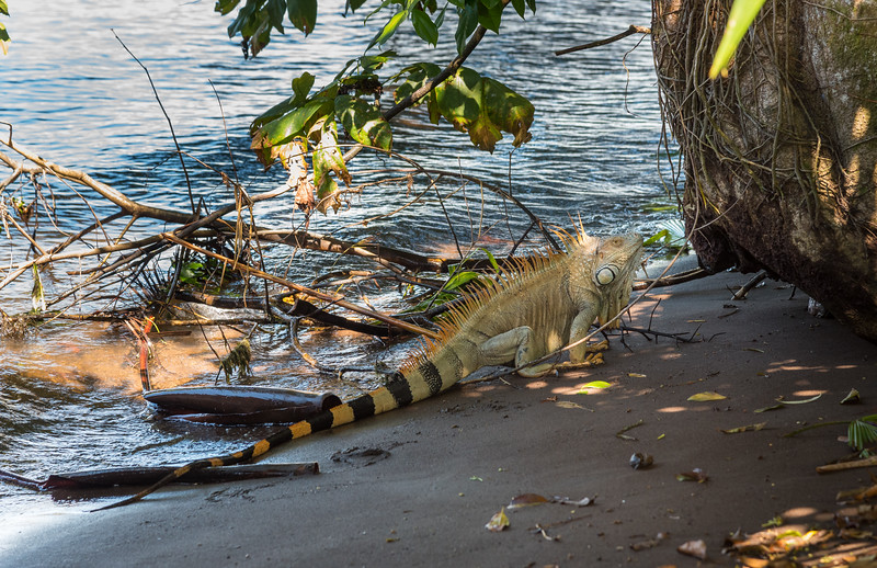 Big Iguana next to the ocean - Costa Rica
