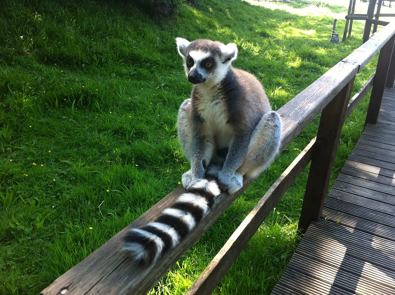 Lemur catching some rays  at Blackpool Zoo.