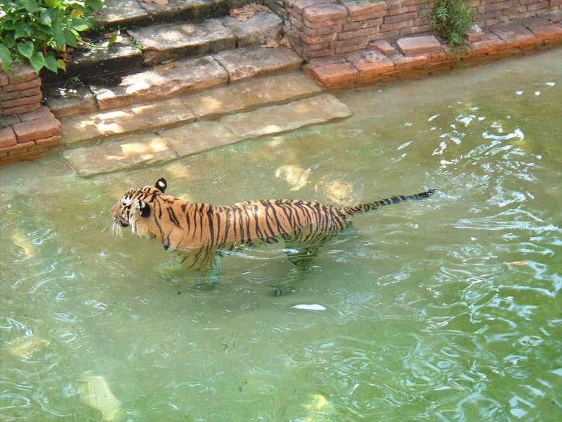 Tiger taks a bath at Disney's Animal Kingdom