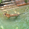 Tiger taks a bath at Disney's Animal Kingdom