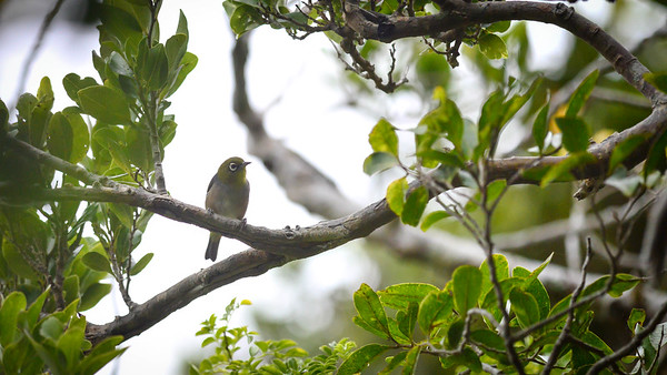 Lord Howe White Eye (Silver Eye)