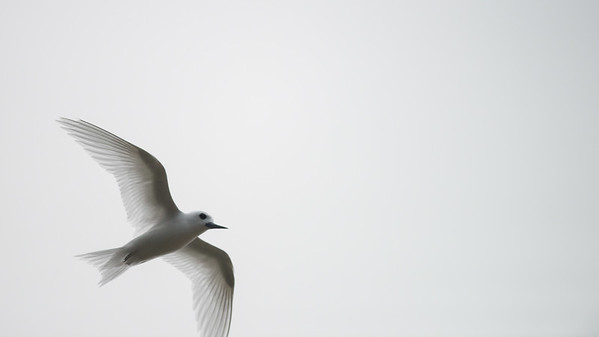 White Tern (Norfolk Island Tern)