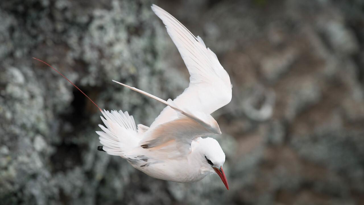 Red tailed Tropicbird (Bosun Bird)