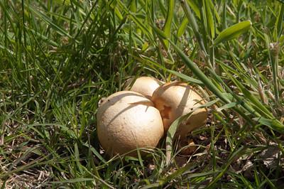 Not duck eggs, mushrooms in Seawinds Gardens, Arthurs Seat