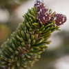 Baby pine cones on White Mountain