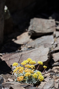 Flowers on the way up White Mountain