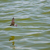 Swallows skimming Lake Mono