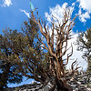 Ancient Bristlecone Pine Forest on White Mountain.  Some are over 4700 years old.