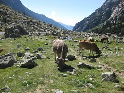 Mountain cattle on the Marmot Trail - Cavellars