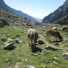 Mountain cattle on the Marmot Trail - Cavellars