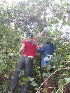 Adam and John joining forces in the hunt for wild grapes