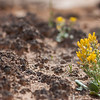 Little yellow flowers and Cryptobiotic soil