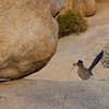 A road runner building a nest!